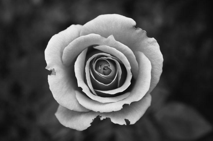 black-and-white-bloom-blossom-57905